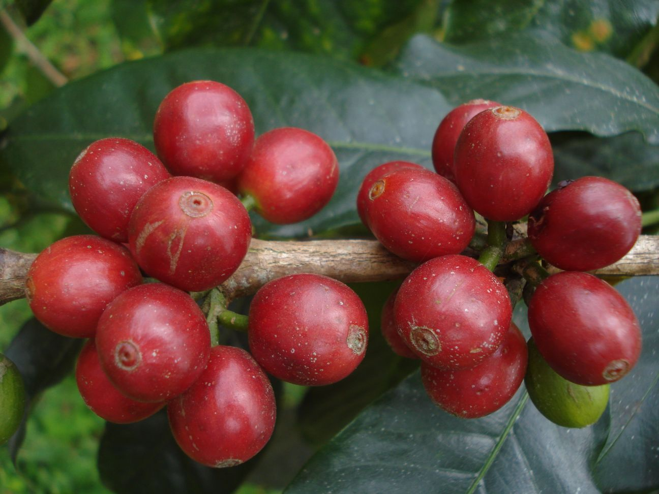 Cocotu coffee cherry